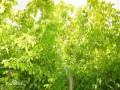 复叶槭成品苗 (4)