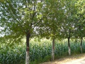 裂叶榆绿化效果 (7)