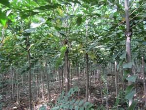 裂叶榆绿化苗 (5)