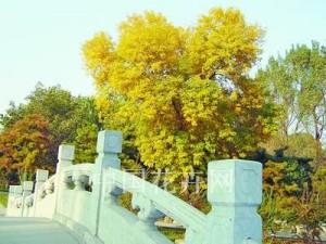 金叶白蜡风景 (5)