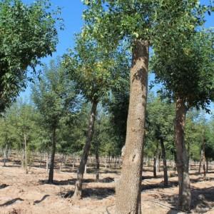 大叶白蜡30-40公分精品定植定干冠型饱满