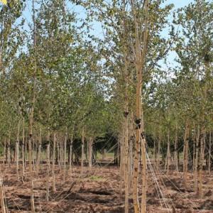 白桦6-8公分精品定植干直冠满