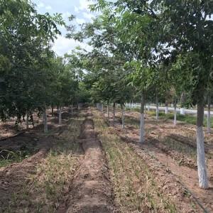 10-15公分精品高标准定植黄菠萝