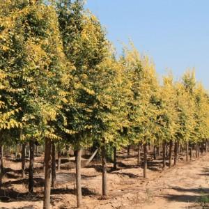 精品高接金叶榆10-15公分高标准定植冠型饱满