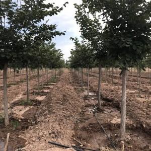 精品裂叶榆8-12公分高标准定植冠型饱满