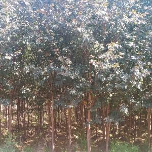 红叶海棠胸径4-12公分