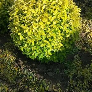 金叶榆球冠幅0.8-2米