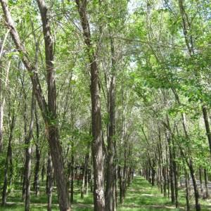 钻×新杂交榆特色品种5-10公分精品苗木