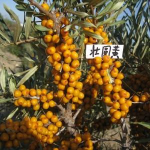 状元黄沙棘,耐寒、耐旱,高抗逆植物