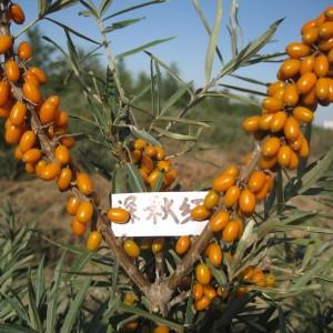 深秋红沙棘,耐寒、耐旱,高抗逆植物