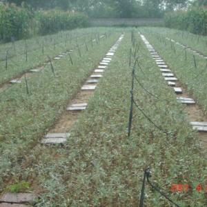 大果沙棘地径1-3公分优质种苗当年可结果挂果