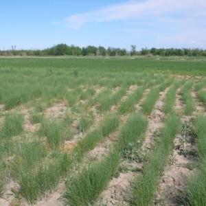 沙生植物梭梭幼苗荒漠绿化首选品种