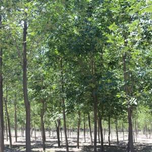 玛平林场大叶白蜡5-16公分精品