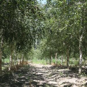 玛平林场白桦6-20公分精品