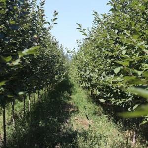 玛平林场红叶海棠5-16公分精品