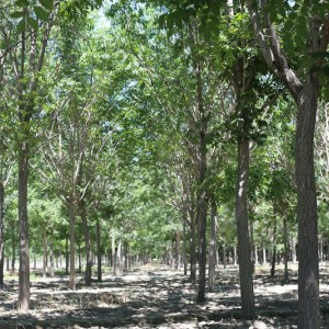 玛平林场黄菠萝12-20公分大规格精品