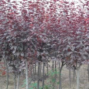 供应2-6公分红叶海棠
