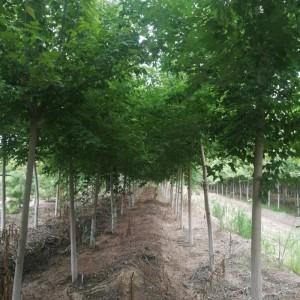 供应3-12公分复叶槭