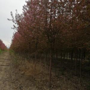 供应3-12公分红叶海棠