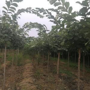 供应裂叶榆胸径3-12公分