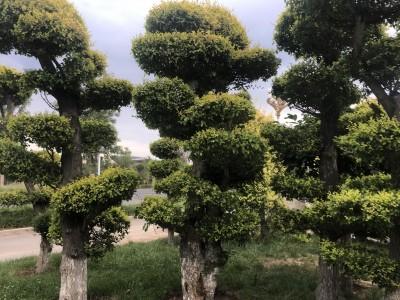 美化苗木大规格精品造型榆数量稀缺