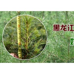 黑龙江省迎春林业局林垦苗圃