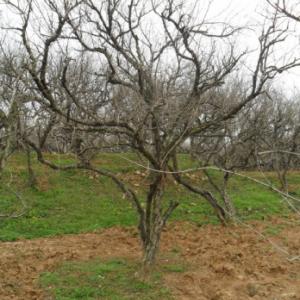 20-25公分石榴树