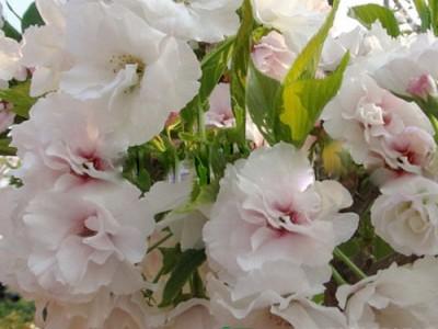 樱花系列 (18)