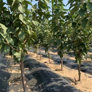 新优品种樱桃树