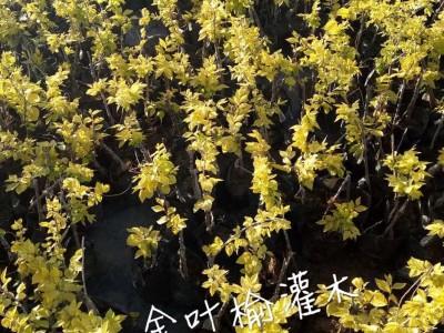 玖运景致金叶榆灌木容器苗