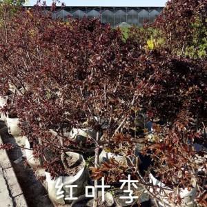 玖运景致密枝红叶李容器苗