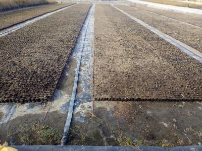 玖运景致温室炼苗区生产作业 (8)